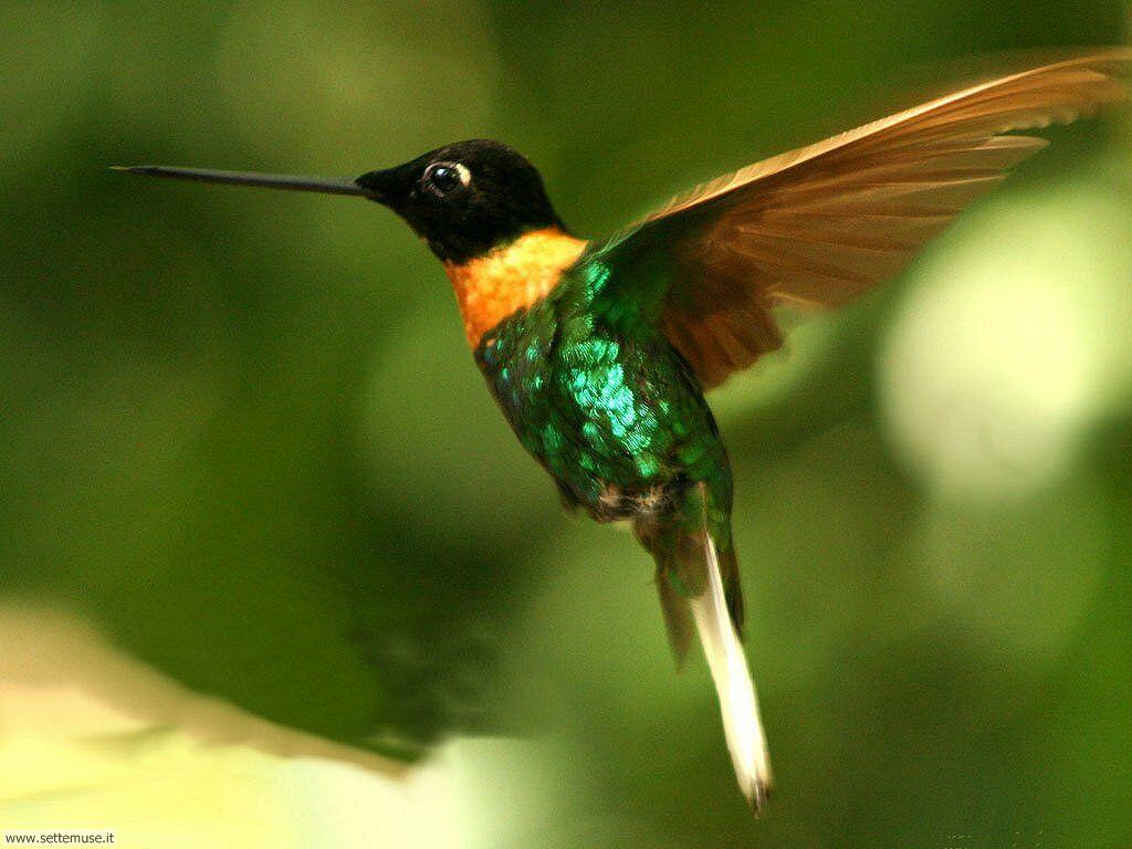 Colibrì - hummingbird