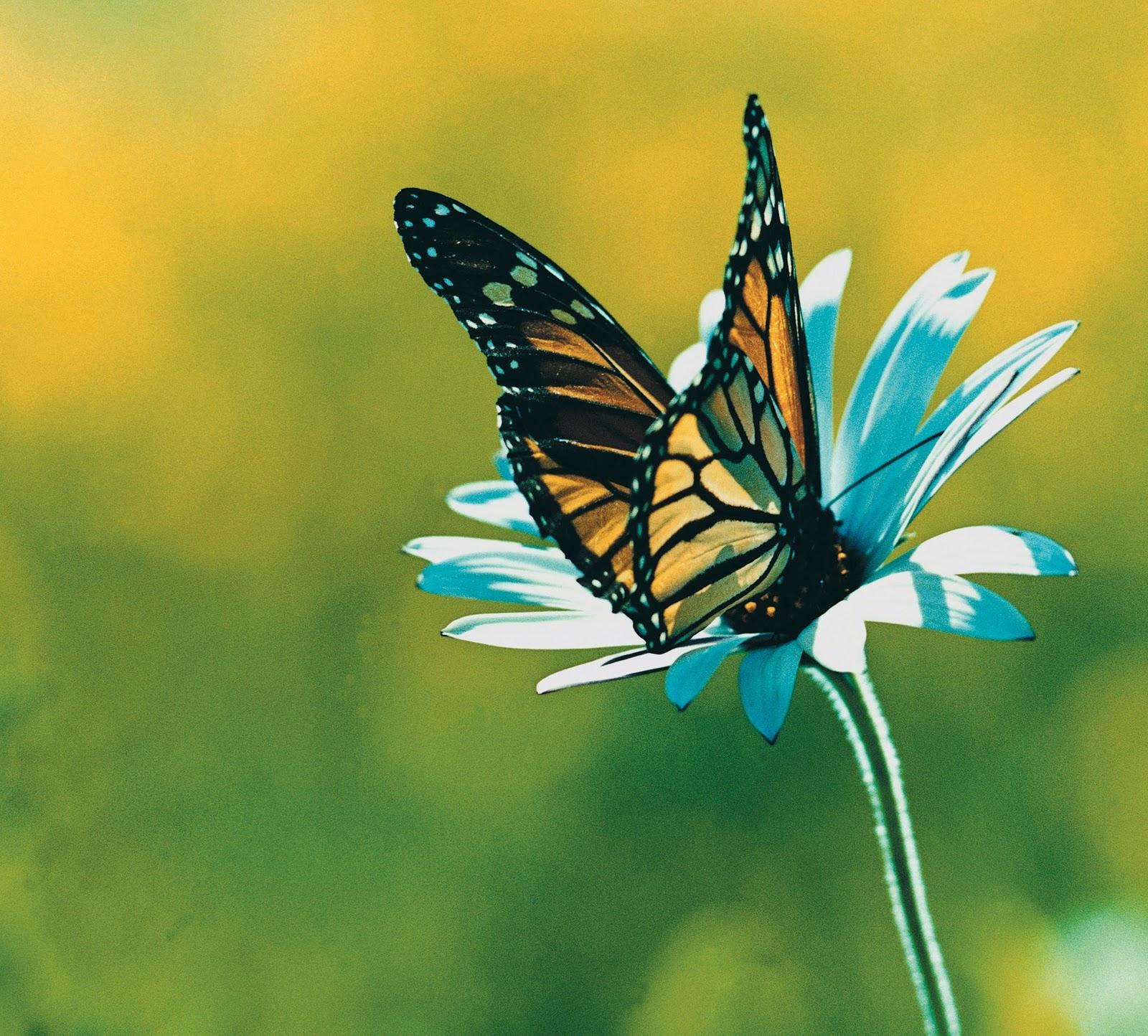 Farfalla Pratolina - Le meraviglie della natura