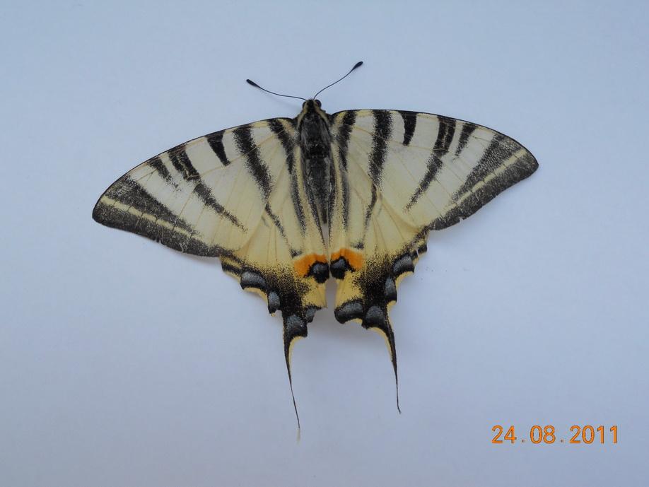Papilio Machaon – Macaone -